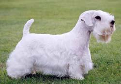 Sealyham Terrier in show pose