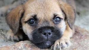 Puppy-dog-33